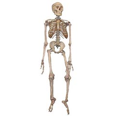 A skeleton - learn medical terminology